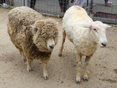 天王寺動物園で恒例「ヒツジの毛刈り」-衣替えの日にちなみ Animals, Animales, Animaux, Animal, Animais