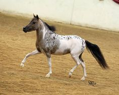 Nadjas Mystrey Puzzle Piece-- My own bred and raised Show Stallion.
