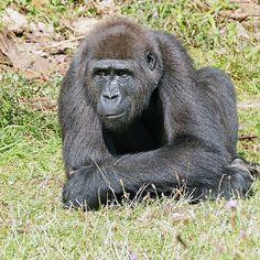 Gorilla I play me ... an adolescent gorilla ! ... 29 (c)(t) by Olao-Olavia par Okaio Créations fz 1000