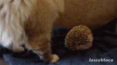Así los escogió Reddit. Les Joies Du Code, Funny Videos, O Castor, Funny Animals, Cute Animals, Baby Animals, Video Chat, Gatos Cats, Gif Animé