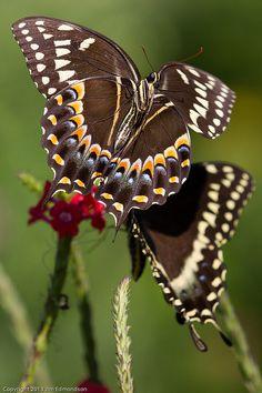 ~~Palamedes Swallowtail In Flight ~ Butterflies by Juggler Jim~~