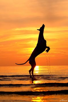 The greyhound, such strength, beauty and grace. Perfection.