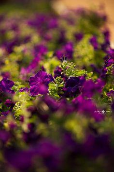 morning glory flowers bokeh