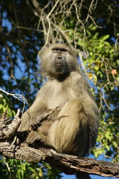 Baboon enjoying morning sun | Kruger Park, South Africa | UFOREA.org
