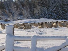 Beautiful picture snow fair sheep enjoying the winter.   Picture by Duncan Cain