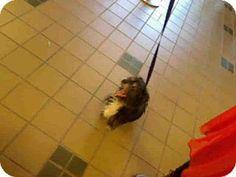 Rancho Cucamonga, CA - Pekingese Mix. Meet UNKNOWN, a dog for adoption. http://www.adoptapet.com/pet/12744509-rancho-cucamonga-california-pekingese-mix