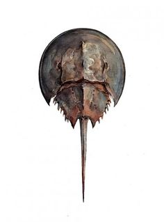 Horseshoe crab watercolor