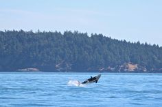 Surreal Picture! July 31, 2014: Great day with Group A of J Pod! Ocean EcoVentures Whale Watching - Cowichan Bay