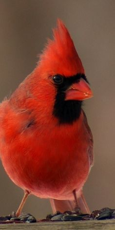 Male Cardinal (we have lots of these here in Spring!)
