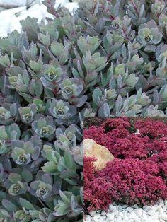 Sedum Dazzleberry — Bluestone Perennials Sedum Dazzleberry — Bluestone Perennials Sed READ perennials that bloom all summer long