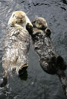 11 Best Otters Holding Hands Images Otters Baby Otters Cutest
