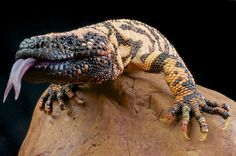 Gila monster / Heloderma suspectum | Flickr - Photo Sharing!