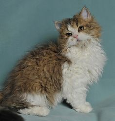 Selkirk Rex Cat.....Beautiful!