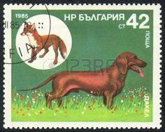 sellos postales de perros salchichas: BULGARIA - CIRCA 1985: Un sello impreso en Bulgaria muestra un Dachshund y el zorro rojo, de la serie de razas de perros de caza, alrededor de 1985