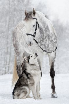 Just beautiful! Dapple grey horse and Husky in the snow. Horses and dogs are great friends. Just beautiful! Dapple grey horse and Husky in the snow. Horses and dogs are. Horses And Dogs, Cute Horses, Pretty Horses, Horse Love, Two Horses, Baby Horses, Wild Horses, Cute Funny Animals, Cute Baby Animals