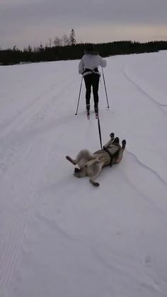 This was not what I had in mind when I decided to get a dog sleigh. Cute Funny Animals, Cute Baby Animals, Funny Cute, Animals And Pets, Funny Shit, Cute Animal Videos, Funny Animal Pictures, Funny Dog Videos, Funny Dogs