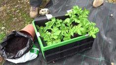 Aardappelen kweken in een krat