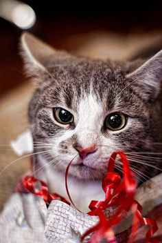 Christmas Cat Investigates Ribbon~