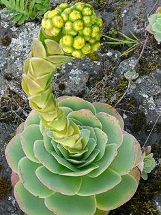 Aeonium Flowering Succulents, Cacti And Succulents, Cactus Plants, Blooming Succulents, Cactus Types, Types Of Succulents, Growing Succulents, Rare Plants, Cool Plants