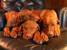 Vizslas!!! So beautiful! I remember when our Jersey had this beautiful coat before she got grey. :)