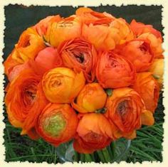 Orange ranunculus - how I adore thee. So bright, big, and yet delicate and feminine. I have three orange ranunculus plants in my front border.