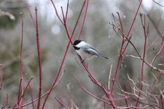 Chickadee just chillin' Lynde Shores Conservation Area Whitby, Ontario (December 31, 2015)
