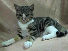 TO BE DESTROYED 12/21/13 Manhattan Center  My name is NEIL. My Animal ID # is A0987581. I am a male brn tabby and white domestic sh mix. The shelter thinks I am about 1 YEAR https://www.facebook.com/photo.php?fbid=717352234943278&set=a.576546742357162.1073741827.155925874419253&type=3&theater