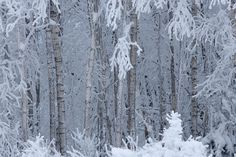 Digital photo collection about Estonian landscapes and species of Northern Europe Birch Forest, Birches, Winter, Landscape, Winter Time, Landscape Paintings, Winter Fashion, Scenery