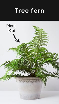 Kai, our tree fern, brings a prehistoric vibe to your outdoor space - like something you'd find in Jurassic Park. Kai doesn't ask too much, just that you give him a bit of shade and keep his soil moist. #outdoorplant #gardenplant #plant {Dicksonia Antarctica}