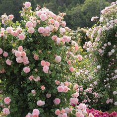 David Austin Climbing Roses, Roses David Austin, Strawberry Hill, Strawberry Garden, Vanessa Bell, Rose Meilland, David Austen Roses, Deadheading Roses, Rose Delivery