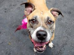 LORELEI - A1043916 - TO BE DESTROYED 07/26/15 A volunteer writes: Our Lorelei is by all ... http://nycdogs.urgentpodr.org/lorelei-a1043916/…