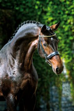 equine-world: Tannenhof's Beckham 「Bordeaux x Signorina」 Oldenburg Stallion