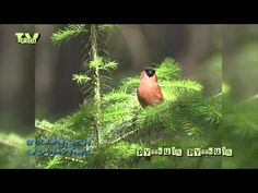 The bullfinch (pyrrhula pyrrhula) is widespread and numerous in most of Europe although they tend to be quiet and rather shy birds which can be easily overlooked....  © All Rights reserved by Fauna Film B.V. http://www.faunafilm.nl