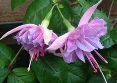 Naughty Nicole Fuchsia flower. Large Double - lax upright. Sepals are pale pink, corolla is pale violet splashed pink. A very popular eye catching plant with lots of flowers.