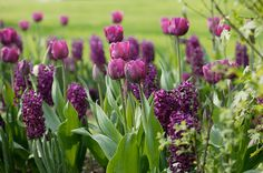A stunning purple display with this bulb combination -Tulipa Negrita and 'Hyacinth Woodstock': Delivery by Crocus.co.uk
