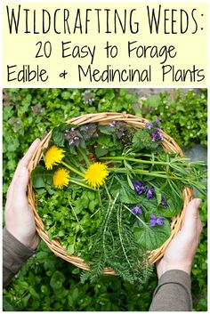 Gardening Herbs Learn how to identify and use common wild edible weeds that might be growing in your backyard with this eBook: Wildcrafting Weeds: 20 Easy to Forage Edible and Medicinal Weeds. Organic Gardening, Gardening Tips, Gardening Vegetables, Container Gardening, Medicinal Weeds, Types Of Herbs, Edible Wild Plants, Herbs For Health, Health Tips