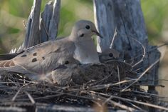 Hendry Winery ‏@hendrywine 14h14 hours ago  Hendry Vineyard Life 5: From death comes life. A mourning dove nesting on top of a eucalyptus stump.#hendryvineyardlife