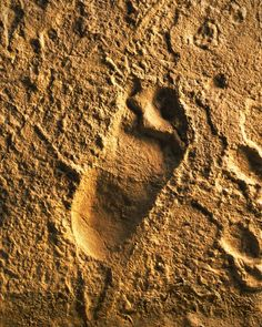 This ancient human footprint from the Laetoli site in Tanzania was made by Australopithecus afarensis approximately 3.6 million years ago. This fossil cast can be seen in the Spitzer Hall of Human Origins at the AMNH.
