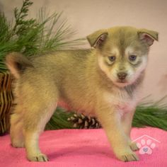 ADOPTED - Hi, my name is Athena. I am as sweet as I look. I love to play with people of all ages and my siblings. The only thing I love more than play time is nap time. Pomsky Breeders, Pomsky Puppies For Sale, Puppy Breeds, Friends Forever, Siblings, Husky, Adoption, Play, Sweet