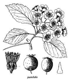 01. 03. Section PUNCTATAE. 03. Crataegus punctata Jacquin, Aubépine ponctuée, Pommetier, Punctate hawthorn.