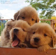 """36.8k Likes, 630 Comments - I Love Golden Retrievers (@ilovegolden_retrievers) on Instagram: """"Look at their little faces!!! @mel_depatas"""""""