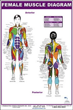 FEMALE MUSCLE DIAGRAM Wall Chart Fitness Poster - Available at www.sportsposterwarehouse.com