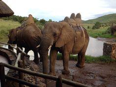 Beautiful elephants at sun city Sun City, Elephants, South Africa, African, Animals, Beautiful, Animales, Animaux, Elephant