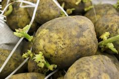 Here are a few good tips to help with growing potatoes.  Why not have your best potato harvest ever?  Read on: