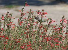 California fuchsia, aka, Zauschneria californica mexicana, AKA Epilobium canum mexicanum flowers