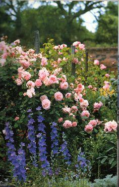 Roses with campanulas