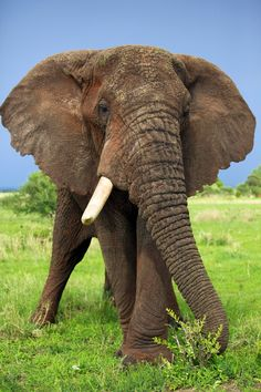 Old One Tusker Bull Elephant
