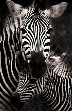(via 500px / Zebra Love by Rudi Hulshof)