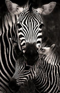 (via 500px / Zebra Love by Rudi Hulshof)