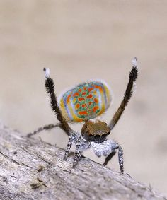 A female Peacock Spider intensely judges males dancing ability before she accepts him for sex, once his dancing and tapping convinces the female, he will delicately move past her pointy fangs and reach around to fertilize her.